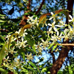flower-neem