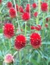 Gomphrena plante