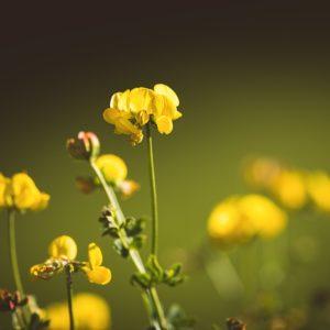 lotus-corniculatus-1585672_960_720