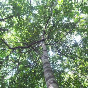 Muirapuama plante