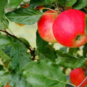 apple-fruit-tree