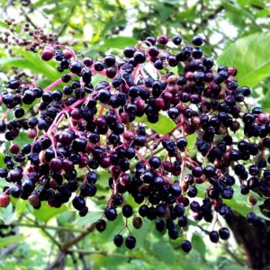 elderberry-398009_960_720