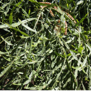 Baccharis plante