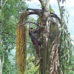 guayapi-recolte-kitul-770×1024