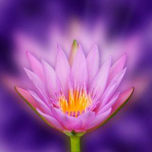 lotus-ayurveda