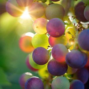 grapes-3550733__340