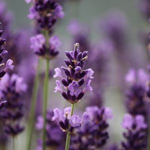lavender-3479492__340
