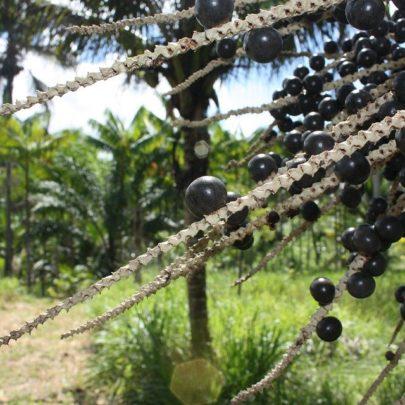 acai-fruits-6103235_960_720