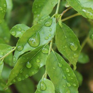 curry-leaf-ayudyana