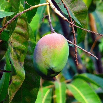 mango-321071_960_720