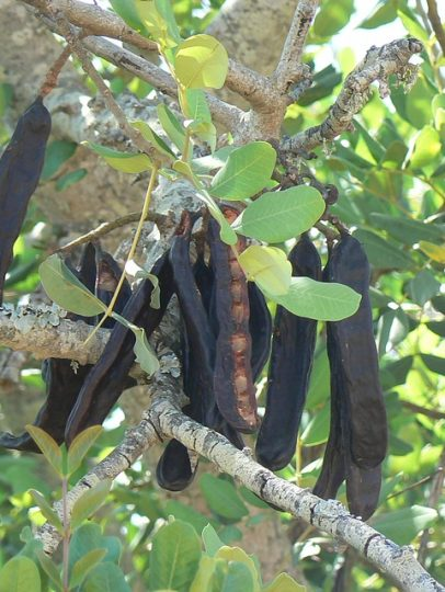 tree-caroube